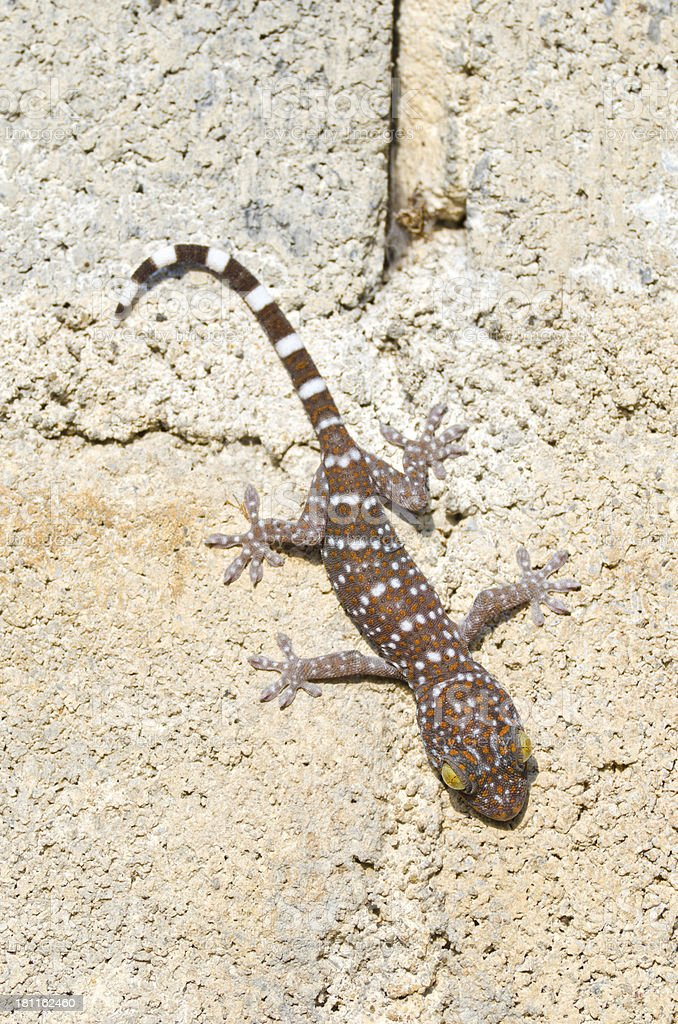 Gecko cling royalty-free stock photo