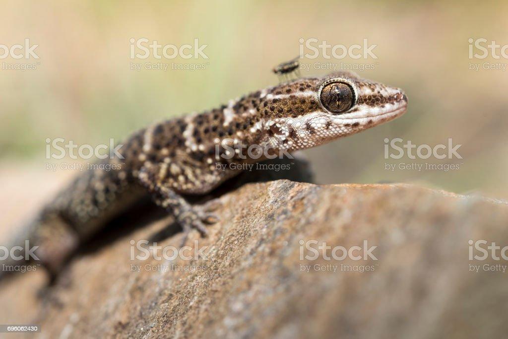 Fotografía de Cordobés De Gecko Homonota Fasciata y más banco de ...