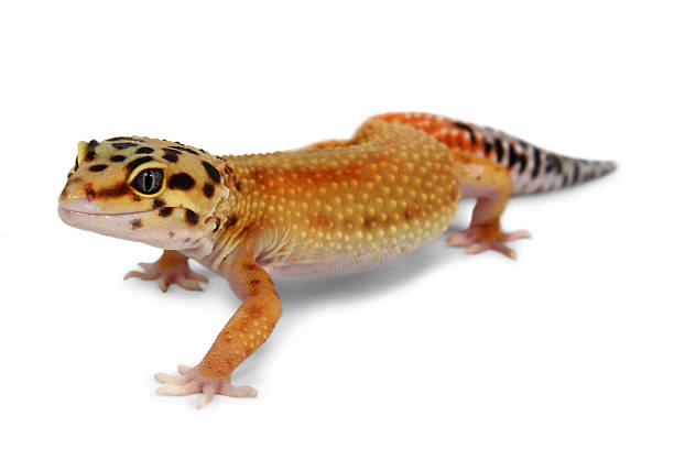 gecko Eublepharis macularius – Foto