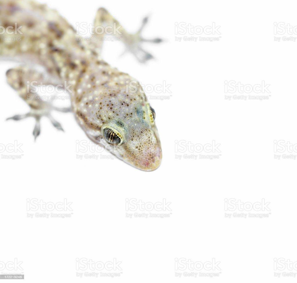 gecko eye closeup royalty-free stock photo
