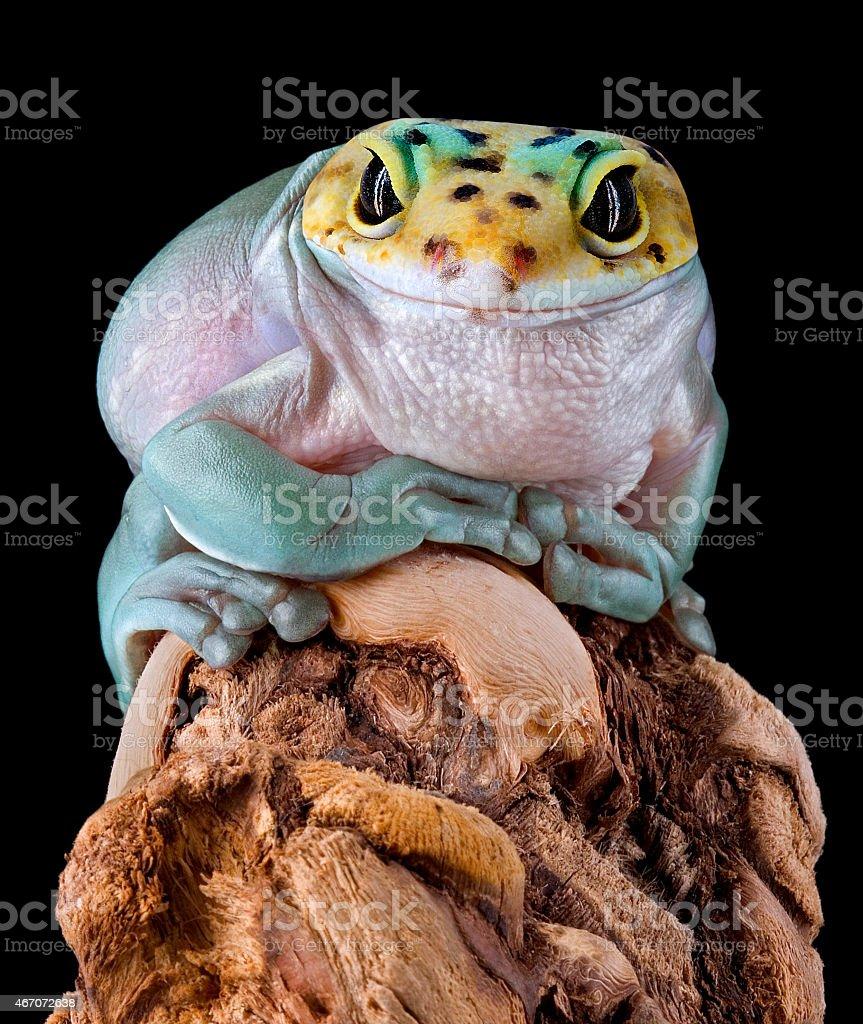 Gecko Frog stock photo