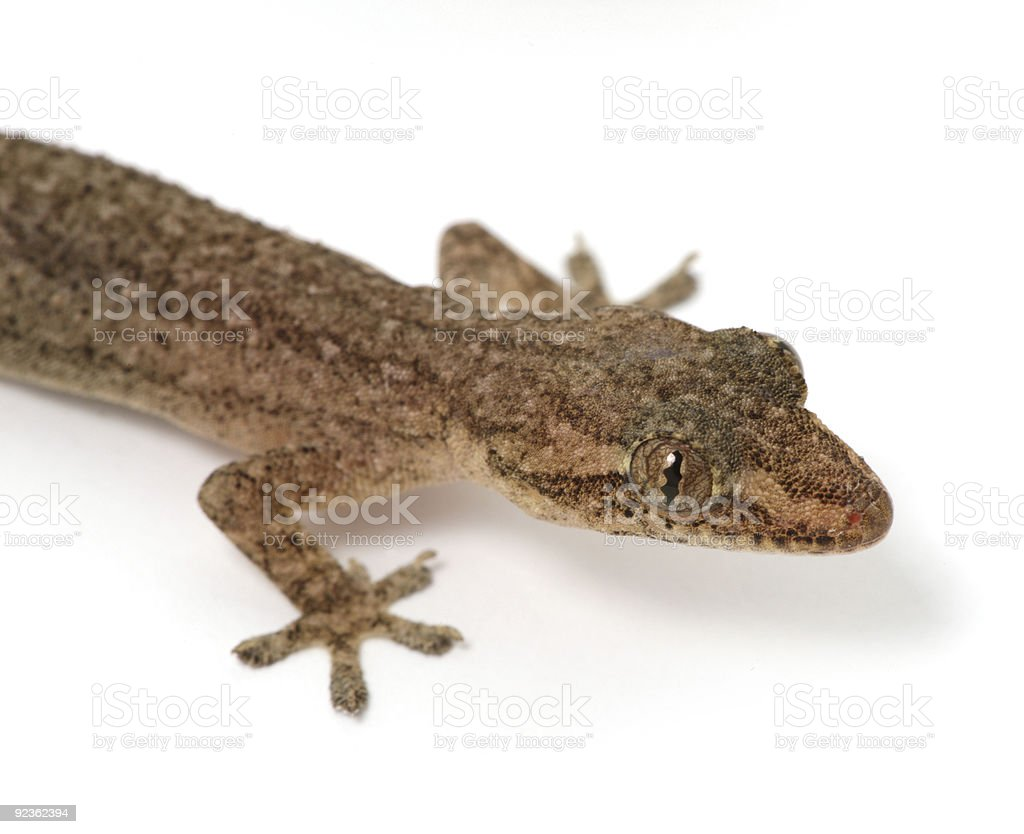 gecko head on white royalty-free stock photo