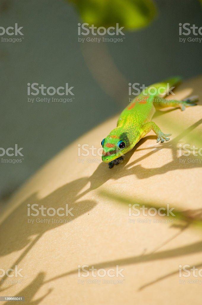 Gecko in Color royalty-free stock photo