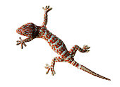 Gecko isolated on a white background with clipping paths for graphic design