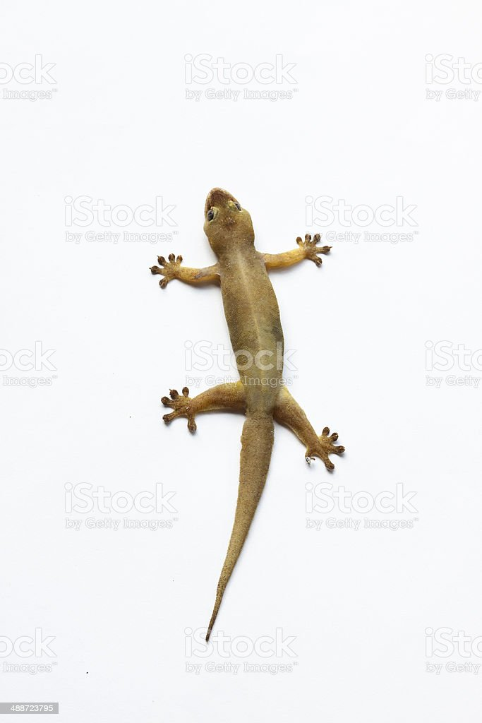 gecko, isoliert auf weiss, House lizard – Foto