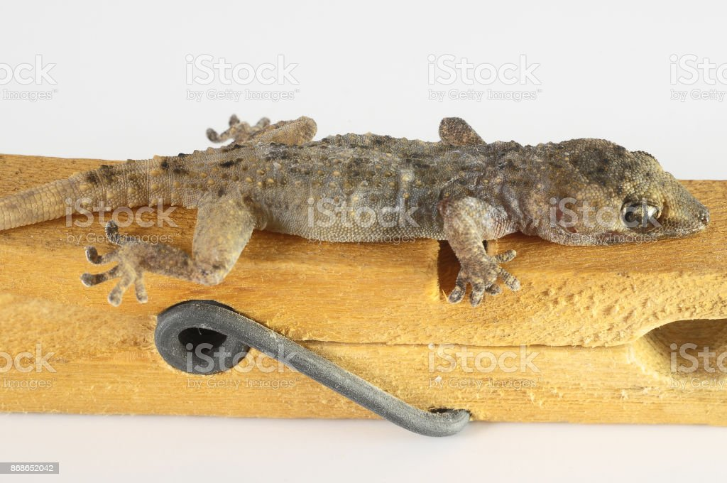 Gecko Lizard and Clothespi stock photo