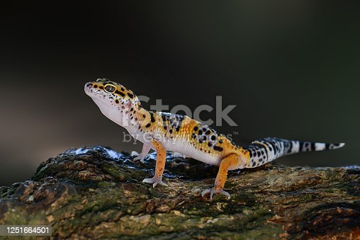 Gecko lizard on a branch in tropical garden