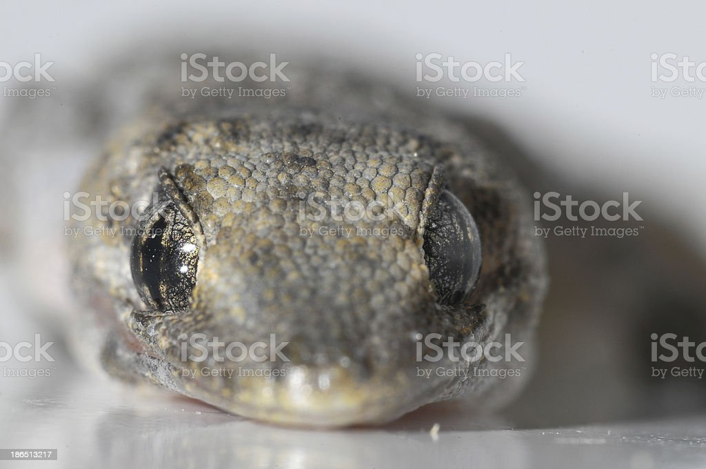 Gecko Lizard royalty-free stock photo
