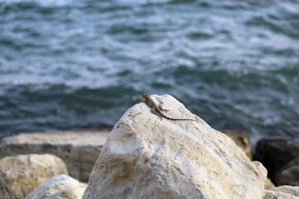 Gecko Lizard Sunbathing on a Rock in Cyprus near Limassol stock photo