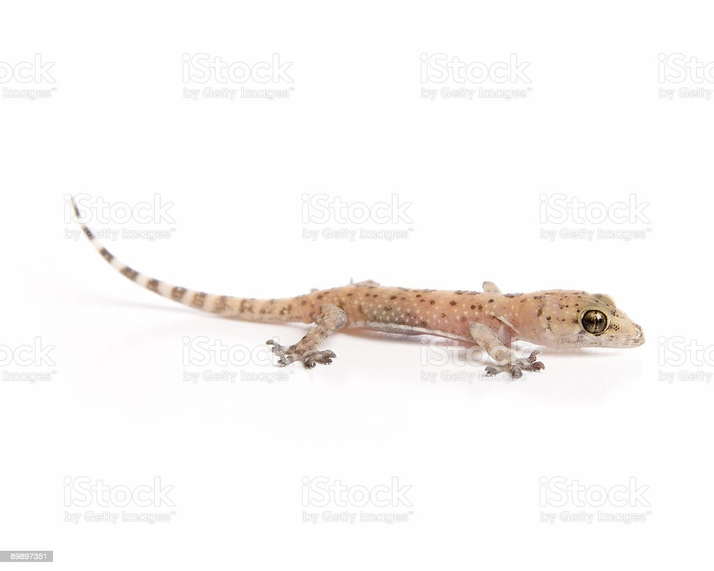Gecko lurking royalty-free stock photo