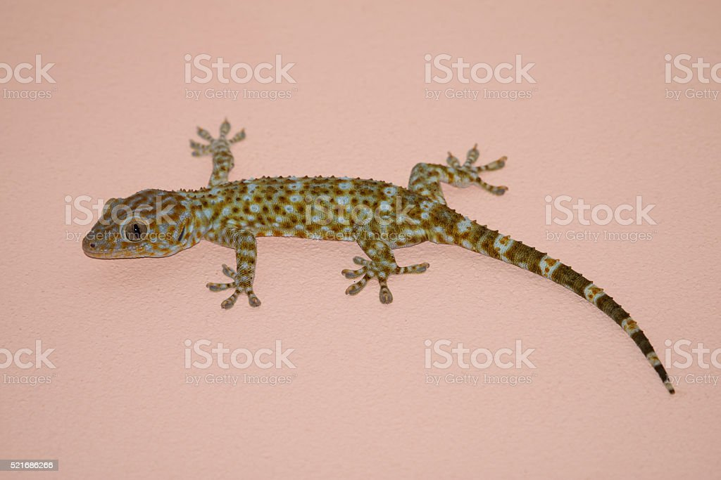 gecko on the wall stock photo