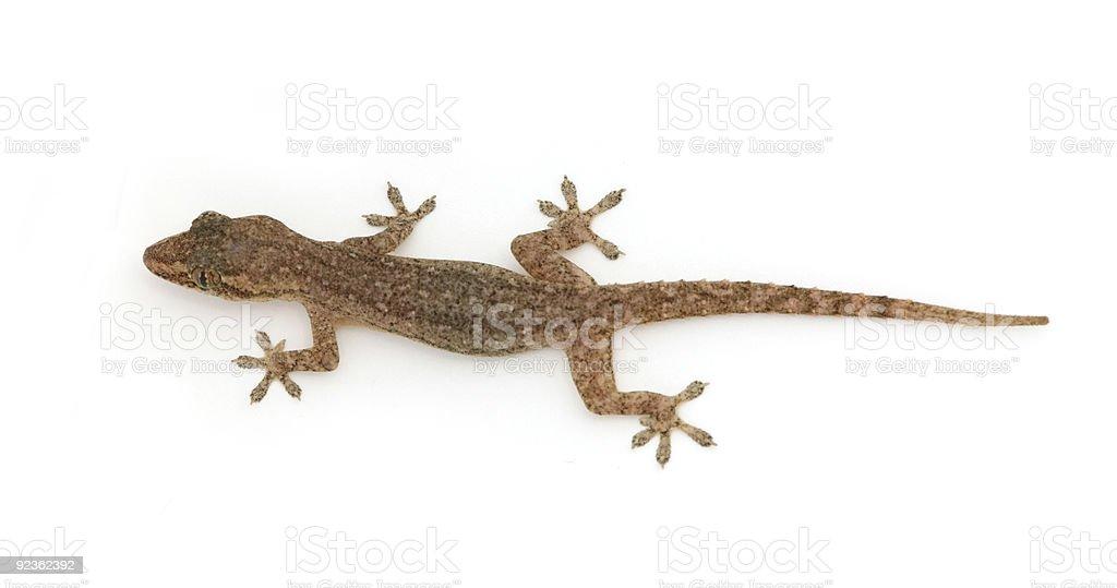 Gecko on white royalty-free stock photo