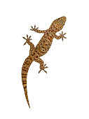 Mediterranean house gecko (Hemidactylus turcicus) climing vertically on white background wall
