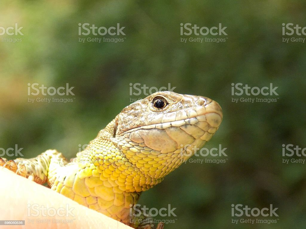 Gecko scary look royalty-free stock photo