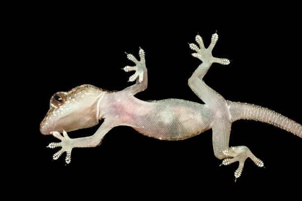 Gecko seen from below in black background stock photo