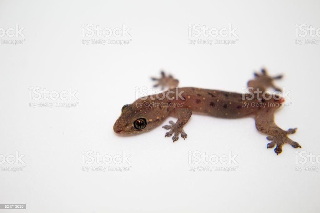 Fotografía de Gecko Sin Cola Sobre Fondo Blanco Lagarto De Bebé Con ...