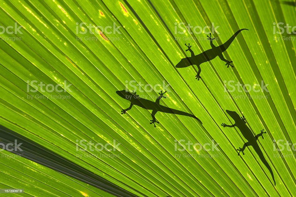 geckos royalty-free stock photo