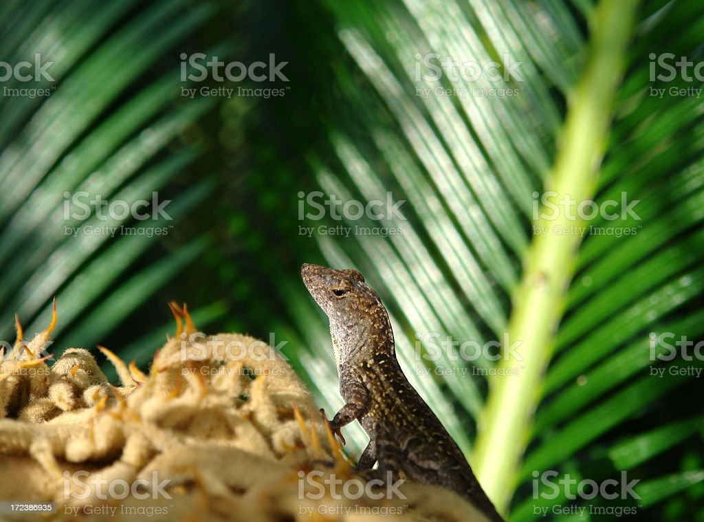 Geco Lizzard On Sago Palm royalty-free stock photo