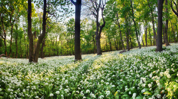 geen forest with wild garlic at sunset, slovakia - snowdrops stock photos and pictures