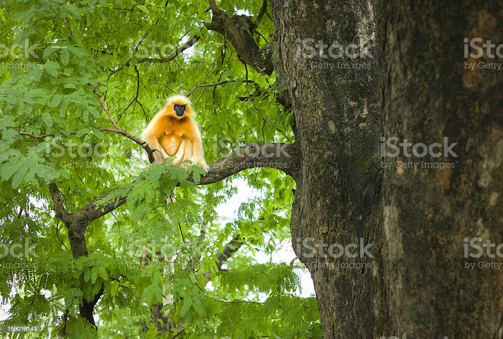 Gee's golden langur, Guwahati, Assam, India. royalty-free stock photo