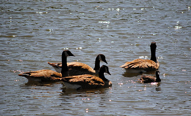 Geese 1 Swimming Geese neilliebert stock pictures, royalty-free photos & images