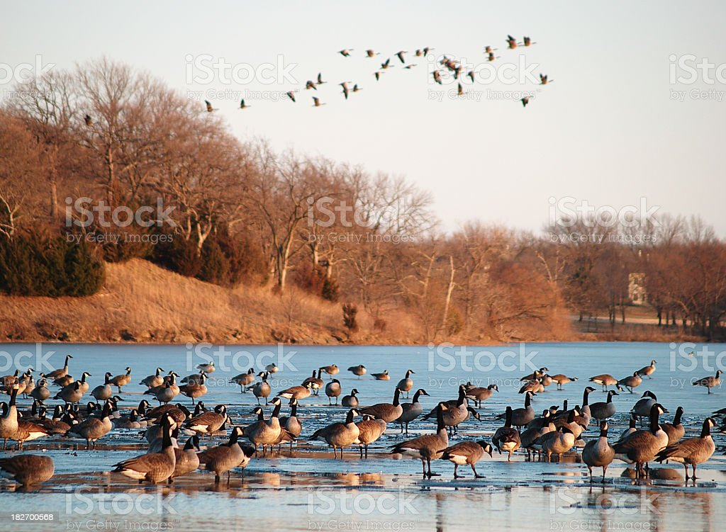 Geese above and below royalty-free stock photo