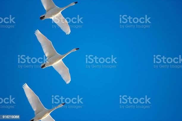 Geese and a blue sky picture id916219088?b=1&k=6&m=916219088&s=612x612&h=tvygflls3kgcia3r3xavzuwv9izvawqb2przbrvin q=