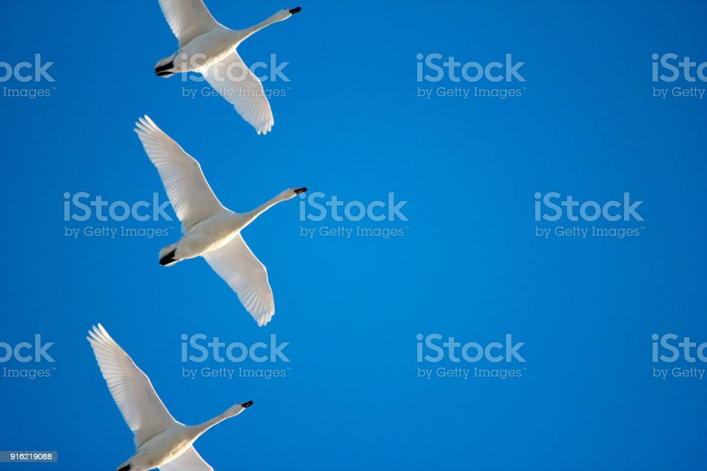 Geese and a blue sky stock photo