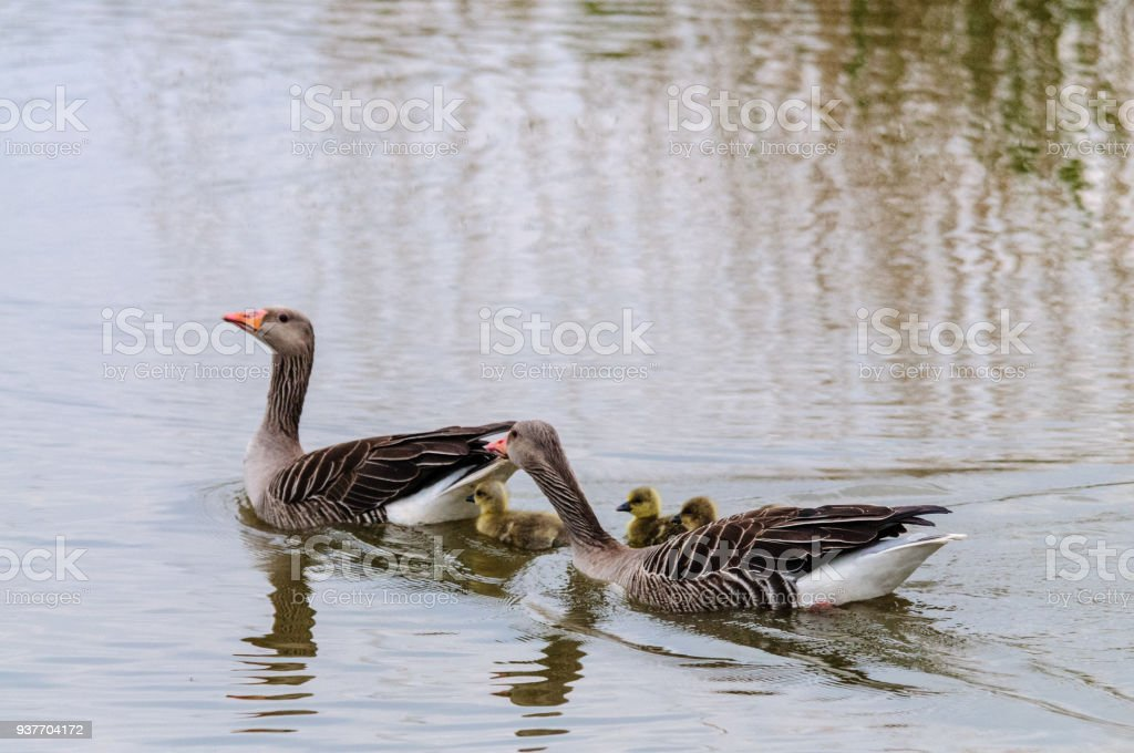 Geese and Goslings in Spring stock photo