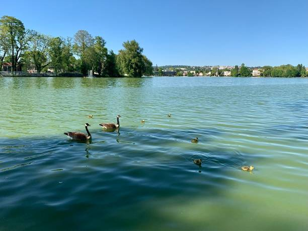 Geese and goslings talking the day as it comes. stock photo