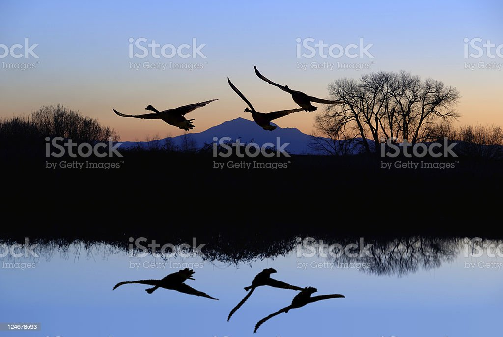 Geese and  Riparian Reflection stock photo