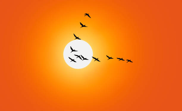 Geese are flying in v-formation in front of a red sky Geese are flying in v-formation in front of a red sky. goose bird stock pictures, royalty-free photos & images