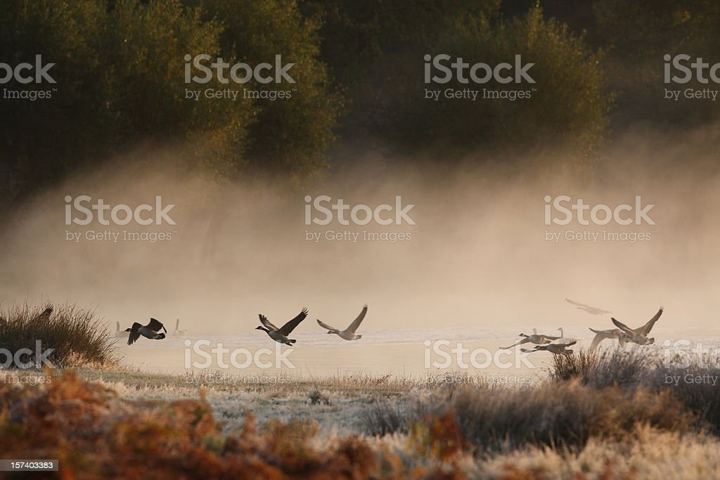 Geese at dawn stock photo