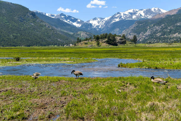 Geese at Moraine Park - A young goose family resting and feeding in a marshy wetland along side of Big Thompson River in Moraine Park of Rocky Mountain National Park, Colorado, USA. stock photo