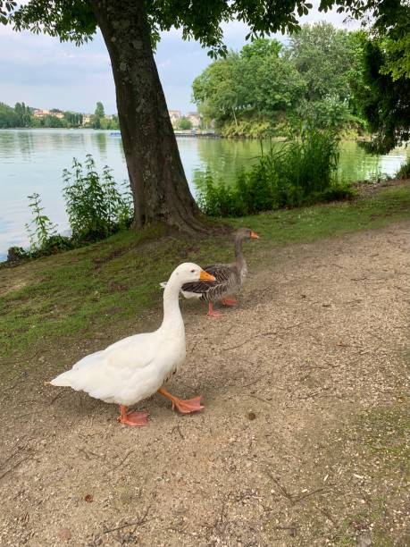 Geese at the lake. stock photo