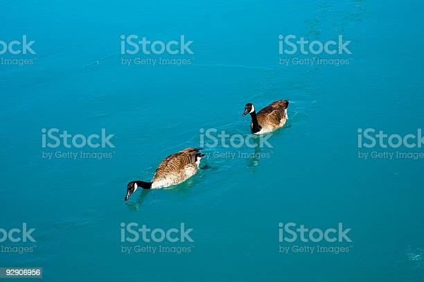 Photo of Geese breaking the ice