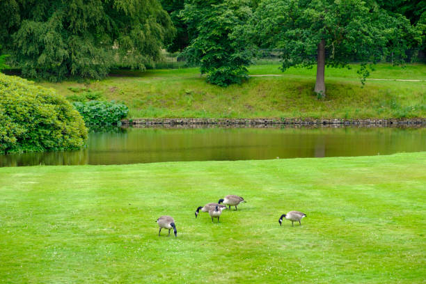 Geese feed on the lawn of the gardens of Lyme Hall historic English Stately Home and park in Cheshire, UK stock photo