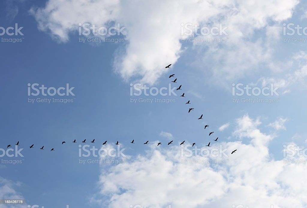 Geese Flock in V Formation Heading Into Bright Sunlight stock photo