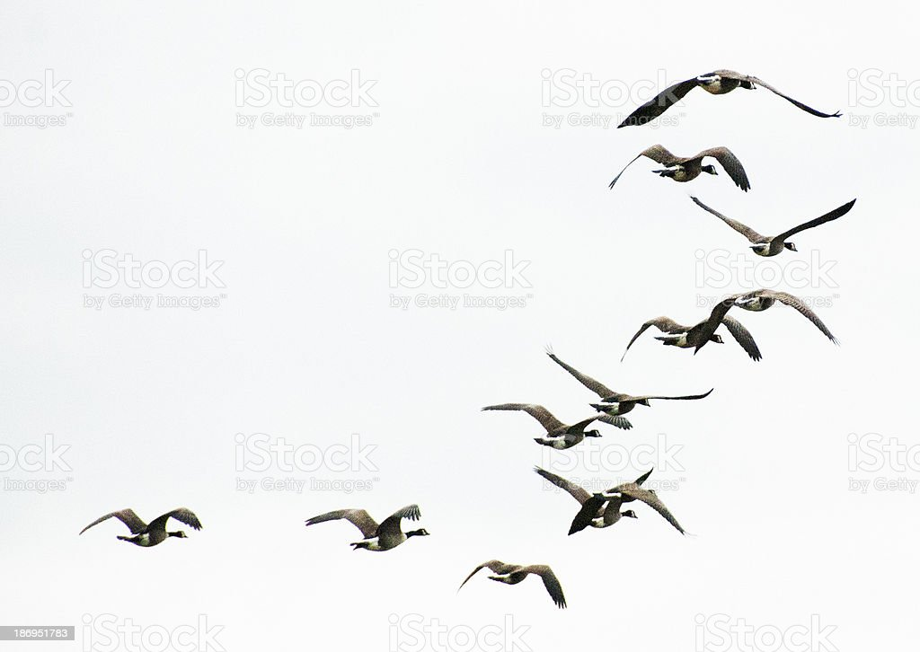 Geese flying away into a very white sky. lots of copy room.