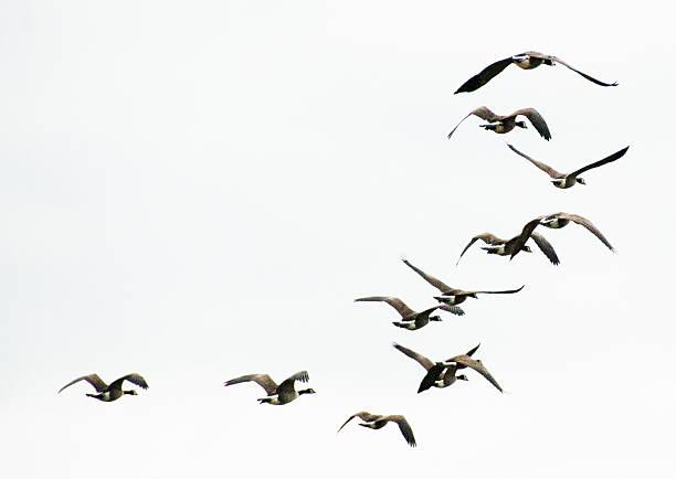 Geese Flying Away stock photo