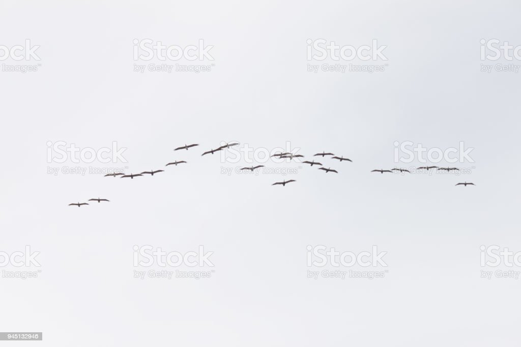 Geese flying in formation in the sky overhead in a cloudy sky stock photo