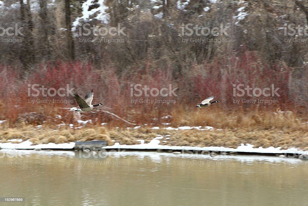 Geese flying over river stock photo