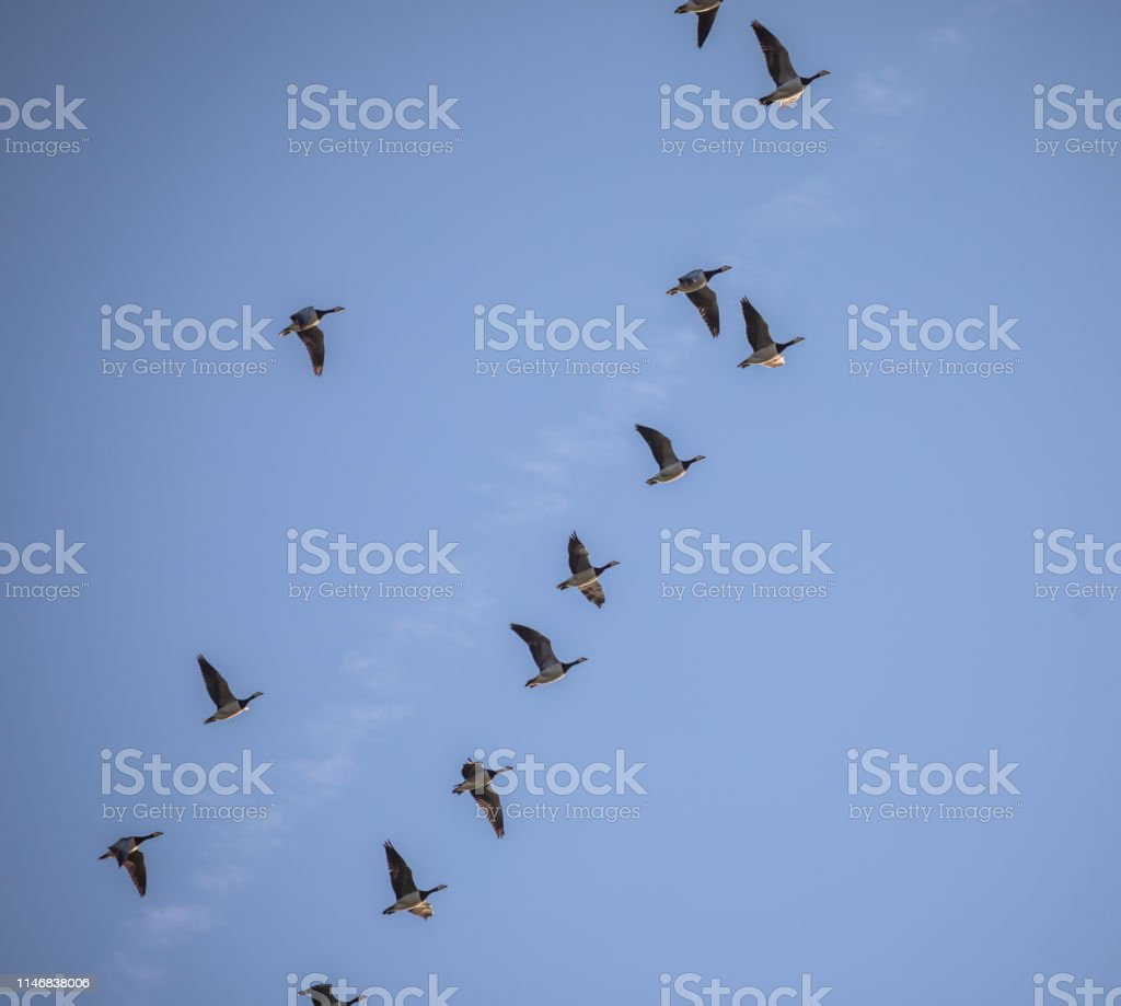 Geese flying over the Wadden Sea in the evening sun, Jutland,...