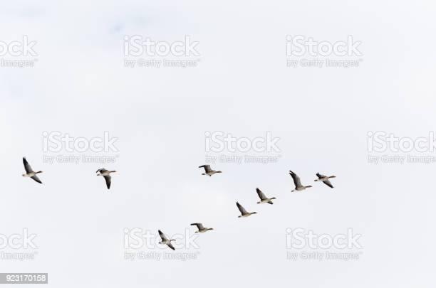 Geese formation flying upwards picture id923170158?b=1&k=6&m=923170158&s=612x612&h=otaswash5r6bijlkrchwyrn9tgprrmzia7btraupdny=