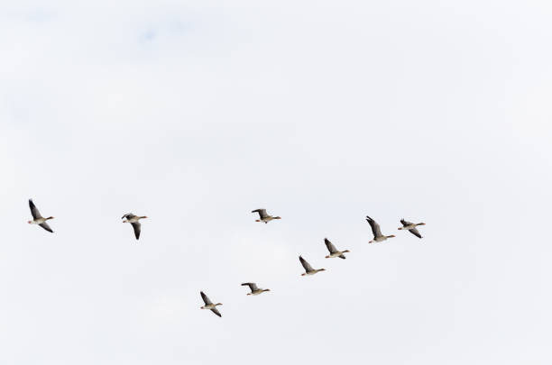 Geese formation flying upwards V-formation of Greylag Geese flying upwards lake waterfowl stock pictures, royalty-free photos & images
