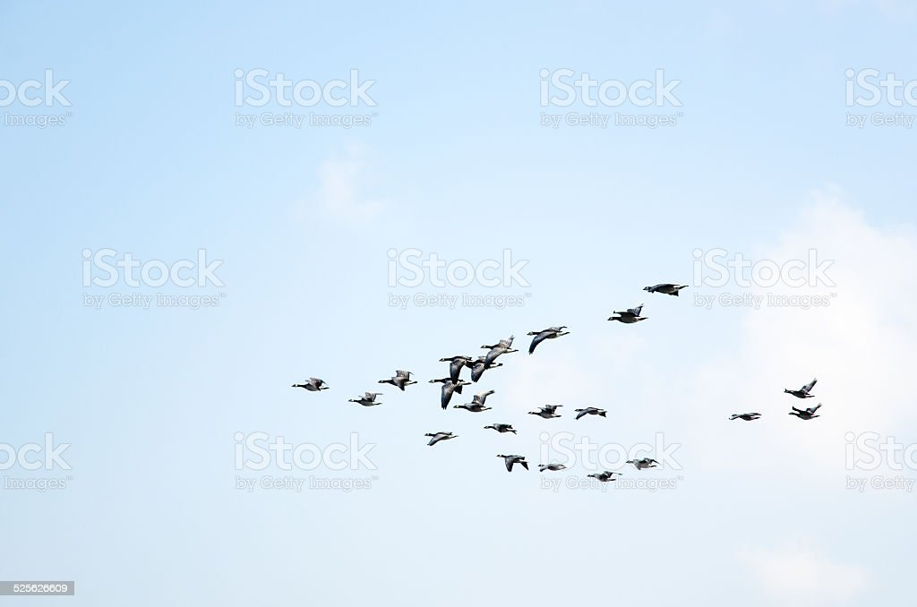 Geese formation stock photo