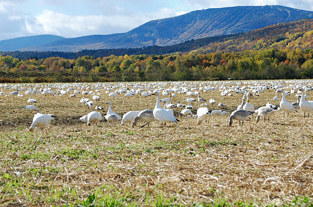 """Geese Gathering """"Snow Geese pre-migration gathering at Cap Tourmente (Quebec, Canada)."""" snow goose stock pictures, royalty-free photos & images"""