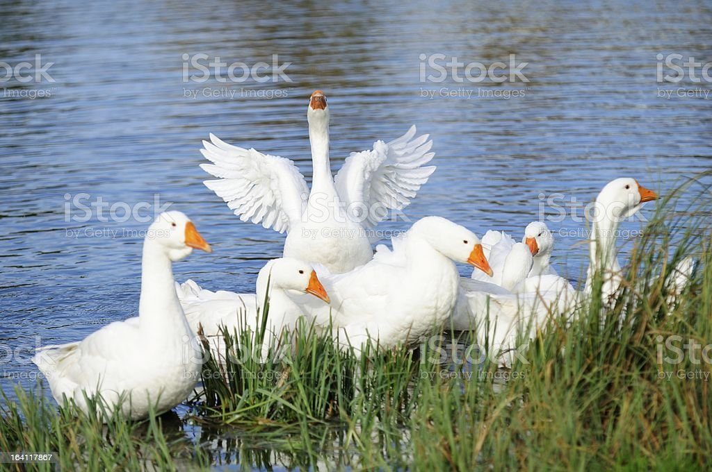 Geese in Lake by the Shore stock photo