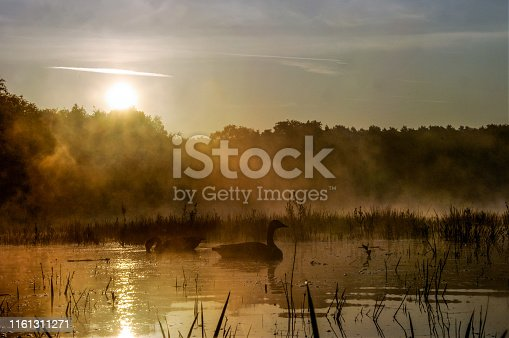 Couple of Geese en Ducks  in a misty morning pond at sunrise