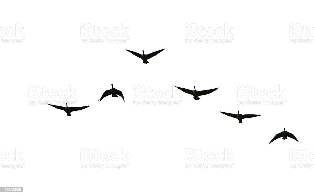Geese In Silhouette stock photo